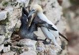 gannet image 1
