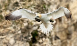gannet image 2