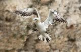 gannet image 3