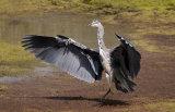 gray heron image 2