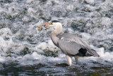 gray heron image 3