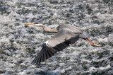 gray heron image 5