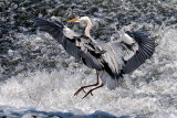 gray heron image 6