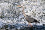 grey heron image1