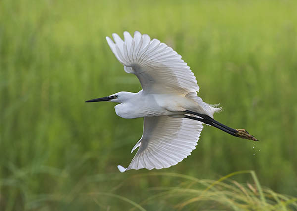 little egret image 1