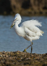 little egret image 4