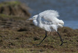 little egret image 5
