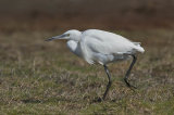 little egret image 6