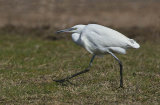 little egret image 7