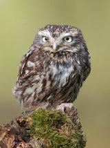 little owl image 1