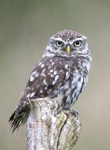 little owl image 2