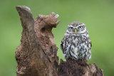 little owl image 3