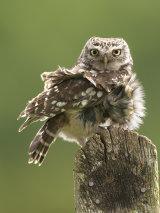 little owl image 5