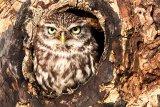 little owl image 6