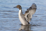 male pintail image 4