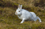 mountain hare image 1