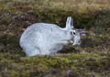 mountain hare image 4
