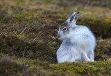 mountain hare image 5
