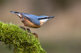 nuthatch image 1