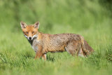 red fox image 1