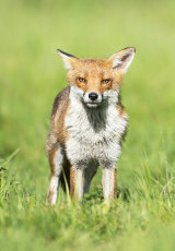 red fox image 2