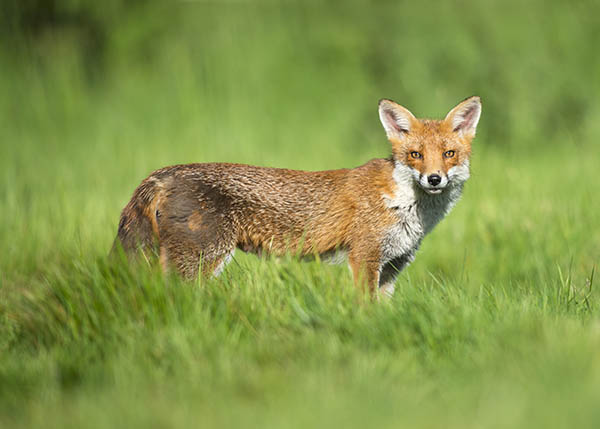 red fox image 3