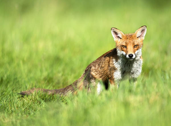 red fox image 4