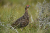 red grouse image 3