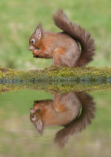 red squirrel image 3