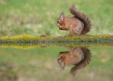 red squirrel image 4
