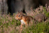 red squirrel image 5