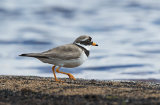 ringed plover image 1