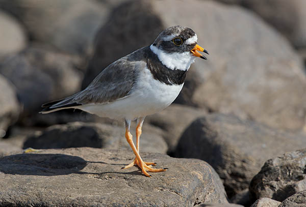ringed plover image 3