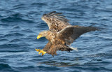 sea eagle image 1