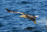 sea eagle image 2