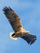 sea eagle image 3