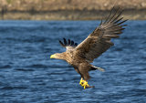sea eagle image 4