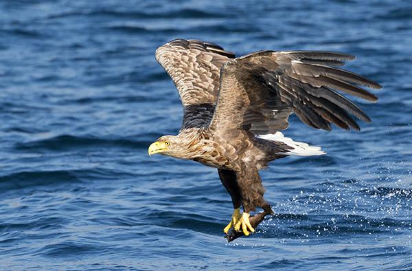 sea eagle image 7