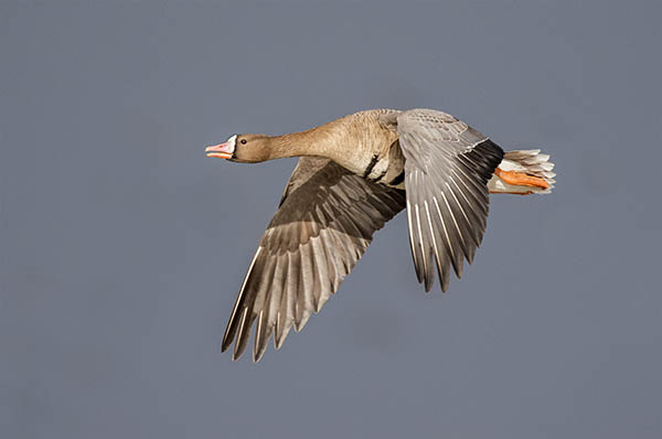 white fronted goose image 1