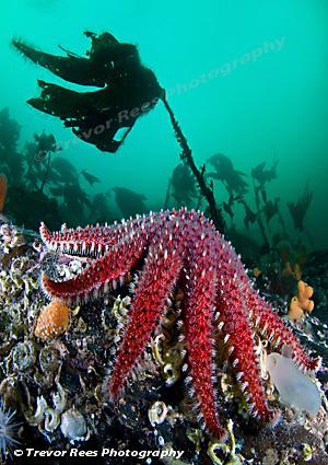 Sunstar & kelp