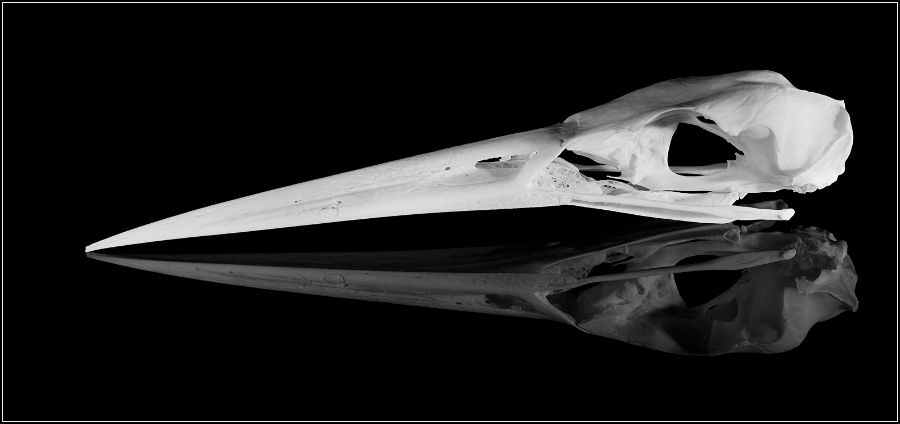 Heron Skull