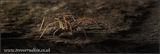 House Spider 1