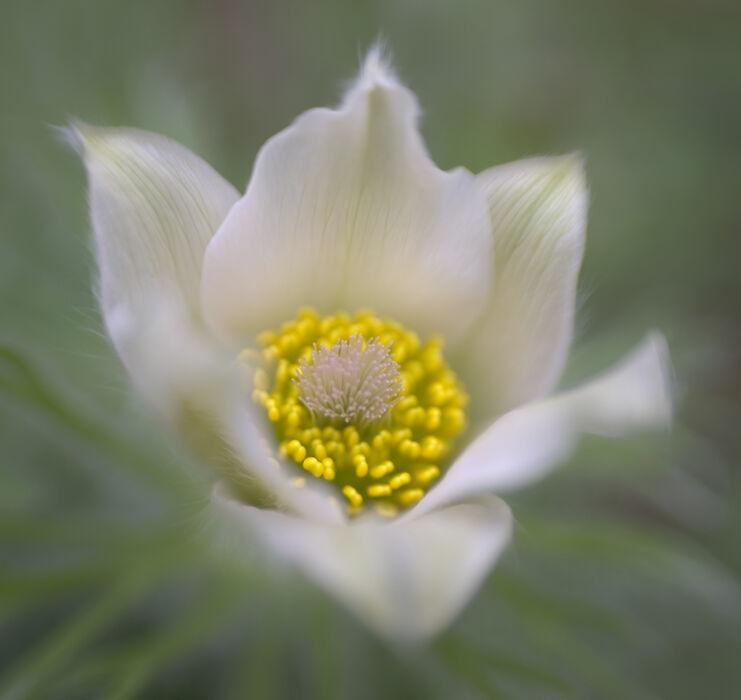 Pasque Flower 04