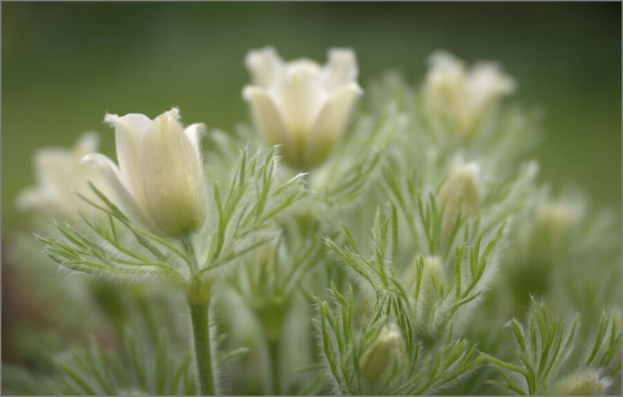 Pasque Flowers 01