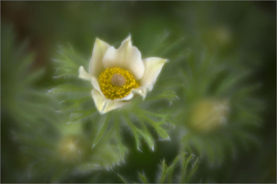 Pasque Flowers 02