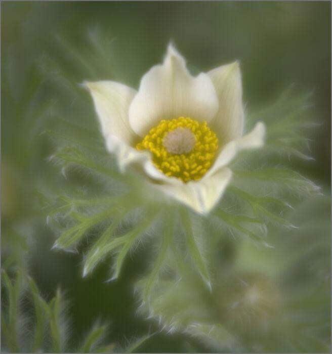 Pasque Flowers 03