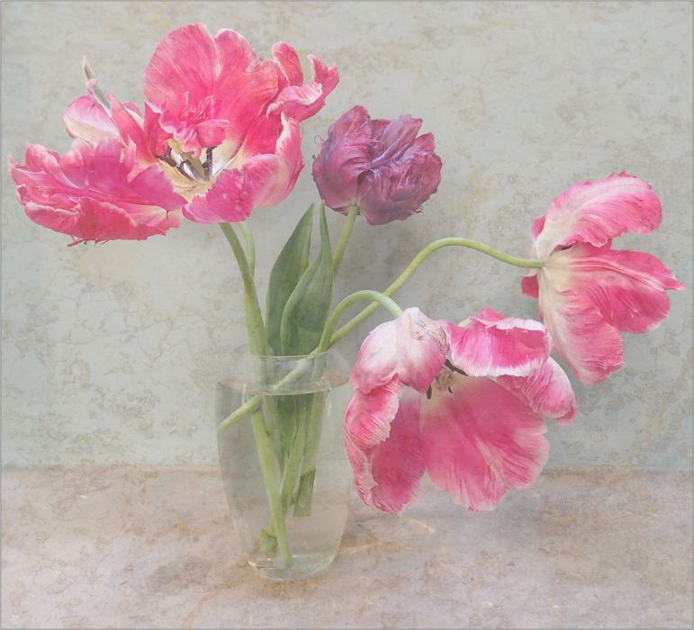 Ragged Tulips