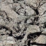 CRINAN TREE