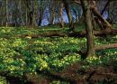 Primrose Wood Kyloe NL13