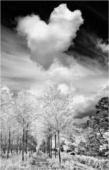 Poplar Trees  no 3